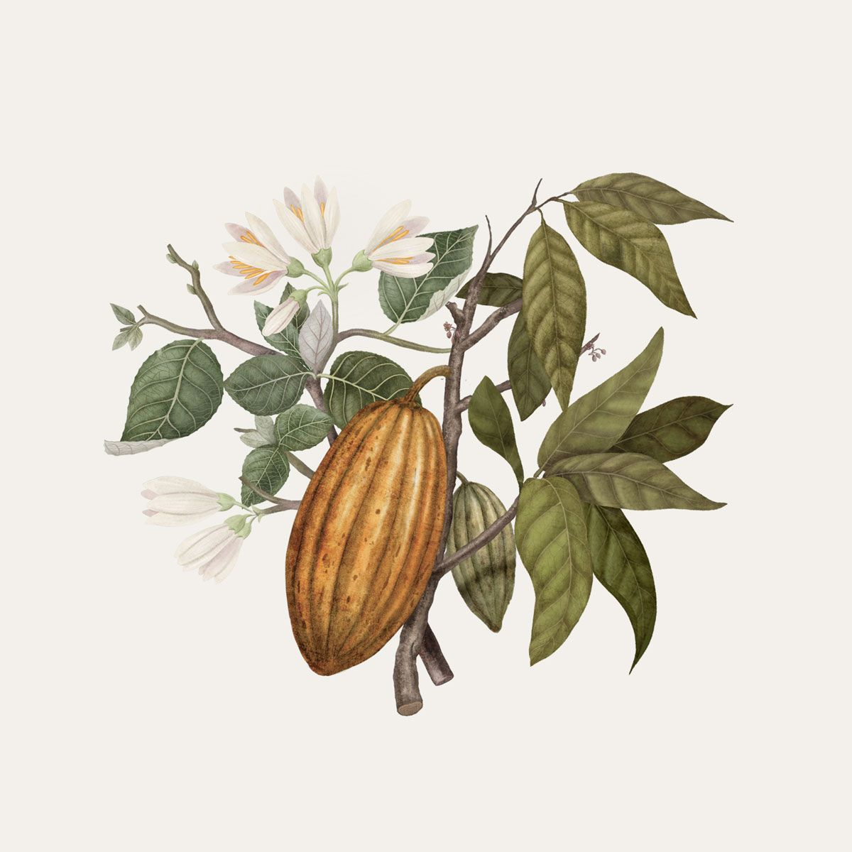 Benzoin and Cacao